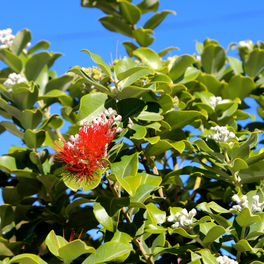 Lots of flowering Pohutukawa (Images by LM for TSL)
