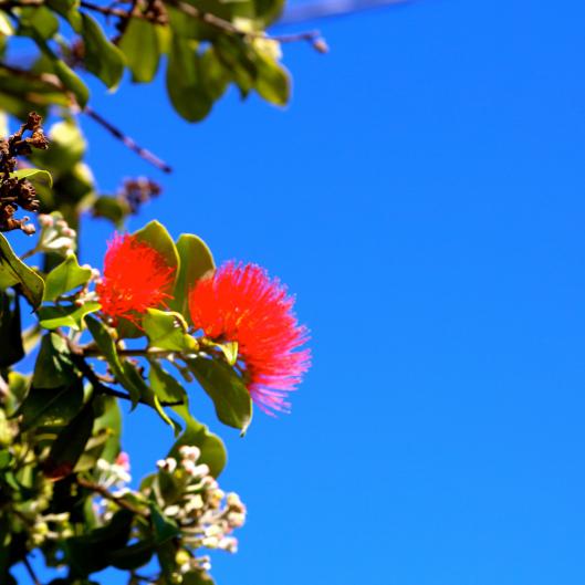 Lots of flowering Pohutukawa