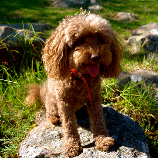Bella on the Spit to Manly walk