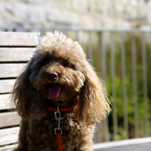 Bella on the Bondi to Coogee coastal walk