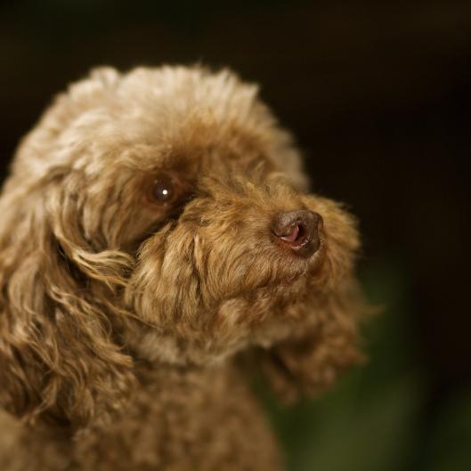 TSL Bella the Poodle